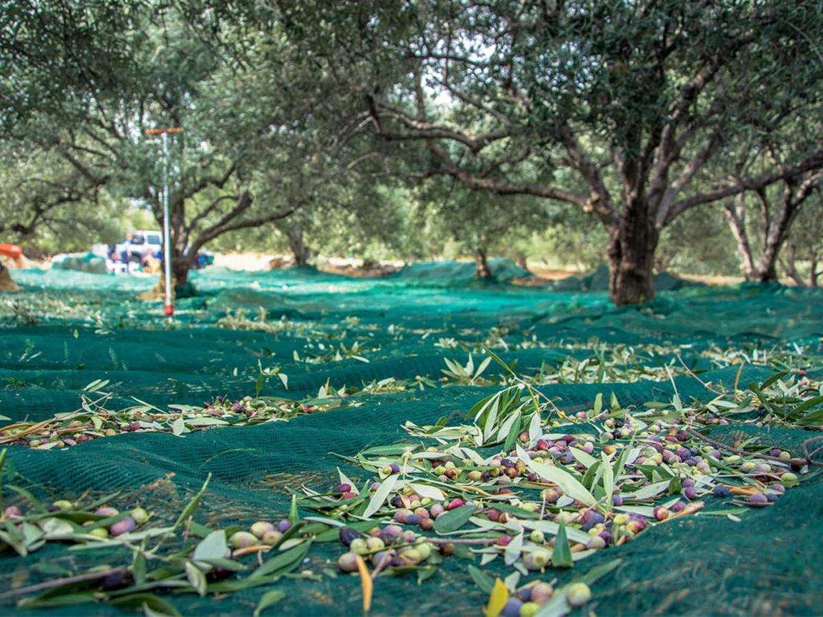 Telo singolo per raccolta olive DETTAGLIO